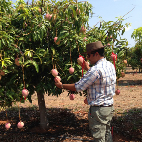 Tip pruning trial on mango in Katherine