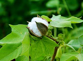 Cotton crop trials commenced in the Territory