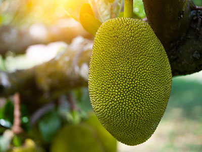 Jackfruit growing on tree