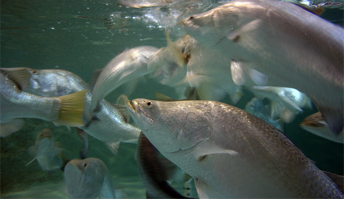Maintaining the barramundi population in Palmerston lakes