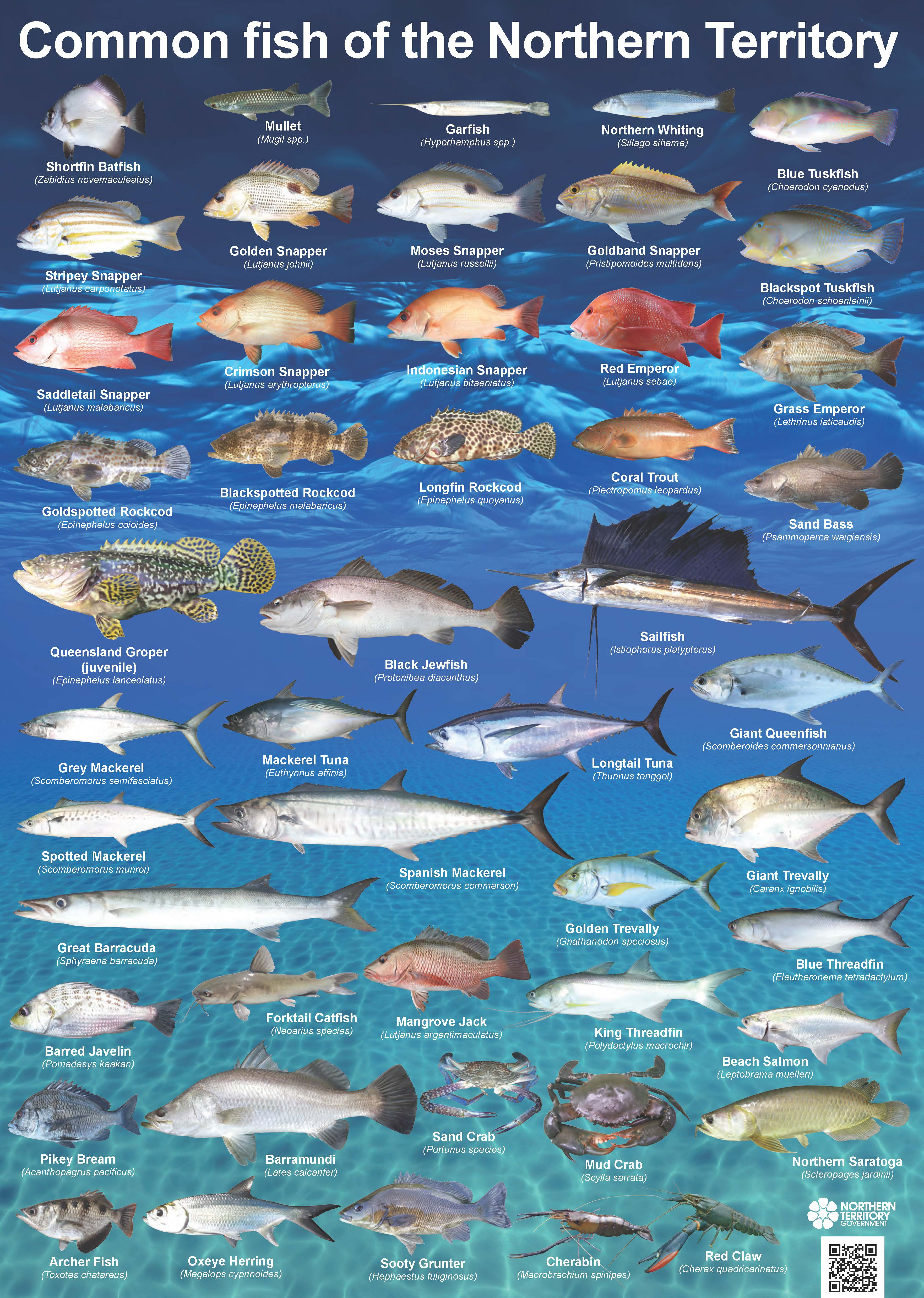 Common fish of the NT