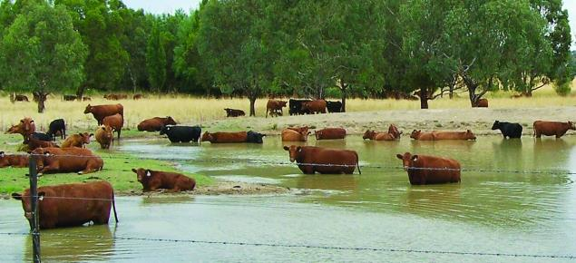 Figure 5: Cattle in dam containing algal bloom