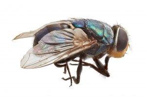 Adult Old World screw-worm fly (Chrysomya bezziana).