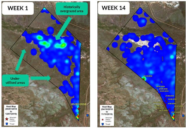 Left: An image of a GPS heat map showing week 1 behaviour - cattle were staying in historically overgrazed areas. Right: A G P S heat map showing week 14 of the self herding trial where cattle are utilising previously undergrazed areas.