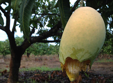 Typical damage to mango fruit by magpie geese