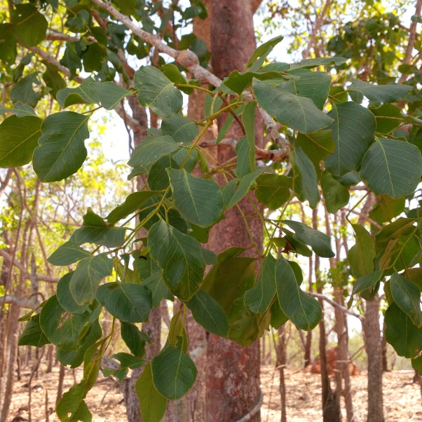 Figure 6. Ironwood tree (Erythrophleum chlorostachys)