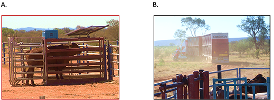 Figure 1.Steers being weighed on a walk-over-weigh unit (A) and steers heading to abattoirs (B)