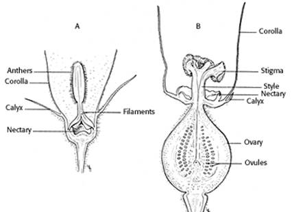 Figure 14: Diagram of male (A) and female (B) melon flowers