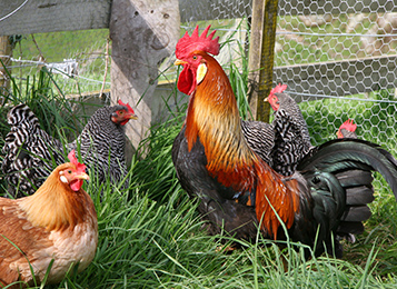 Do you keep chickens in your backyard?