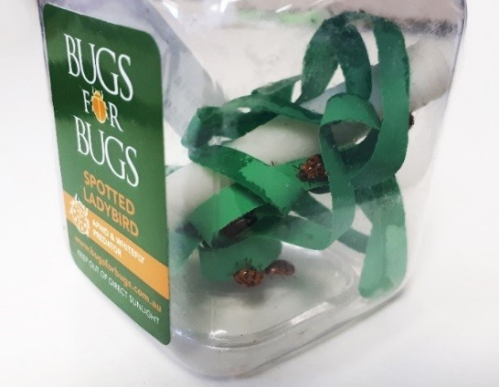 Pre-schoolers from Wulagi Primary School released Bugs 4 Bugs ladybugs into their garden to control aphids.