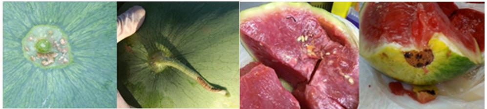 CGMMV symptoms on fruit.