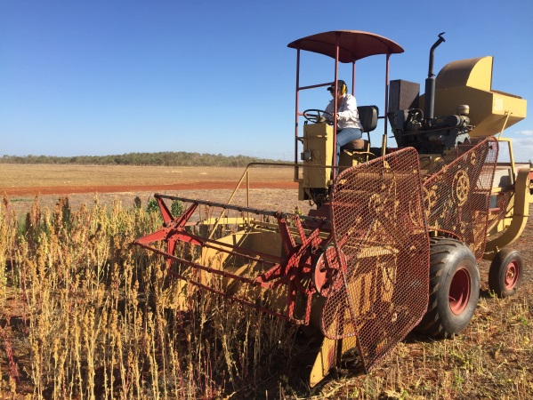 Teagan Harvesting Quinoa