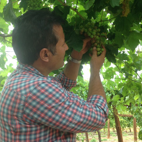 Improving table grape quality in Ti Tree in Central Australia