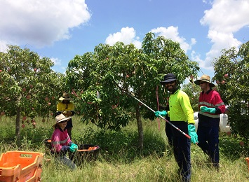 A team of researchers harvest mangoes as part of the trial