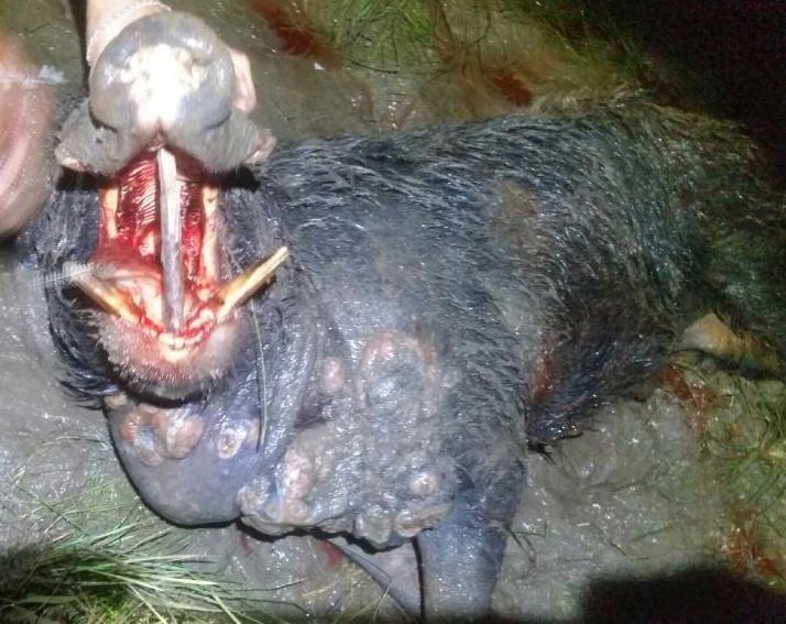 Figure 19. Diseased feral pig