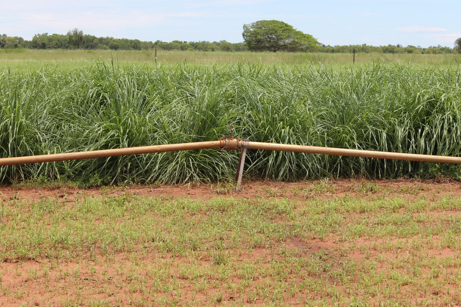 "Figure 8. Nucal ""Panic"" planting at Coastal Plains Research Farm"