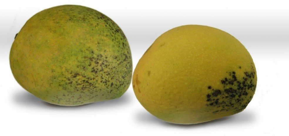 Figure 5. Resin canal in mangoes.