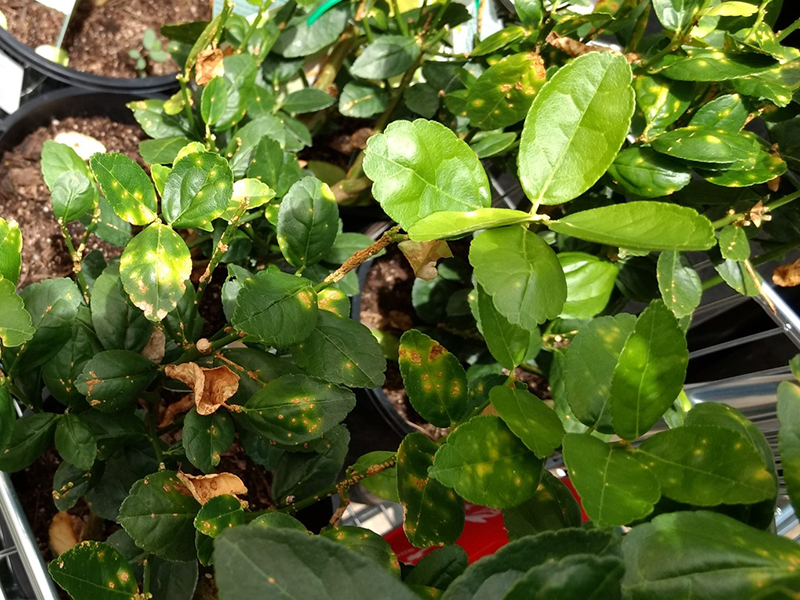 Citrus canker - - Symptoms on citrus plant