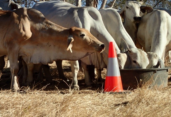 Cattle eating at an attractant station, witches hat next to them.