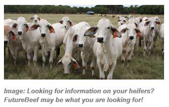 Herd of Brahman heifers