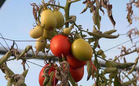 Wilting tomato caused by TPP