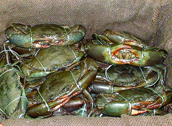New mud crab regulations in place