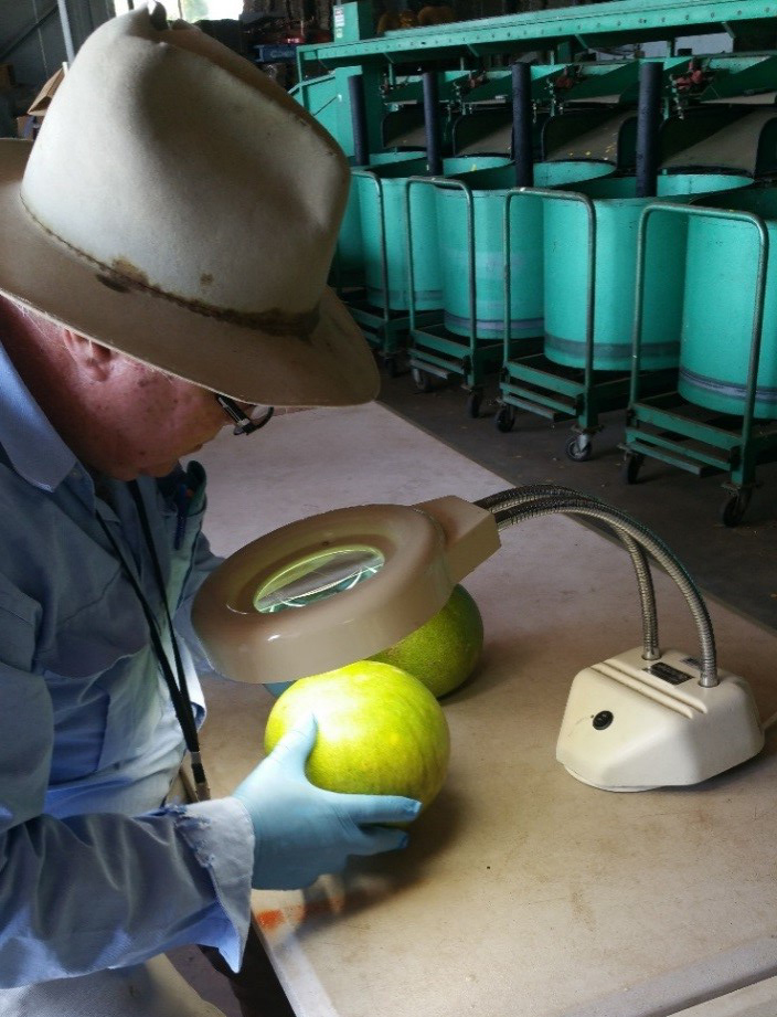 NT biosecurity officer Shane Cross examines a pomelo prior to shipment.