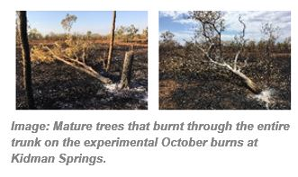 Image: Mature trees that burnt through the entire trunk on the experimental October burns at Kidman Springs.