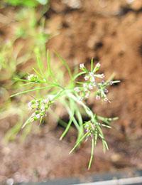 Caraway, cumin and kalonji plantings at the DITT NT trial site in Darwin.