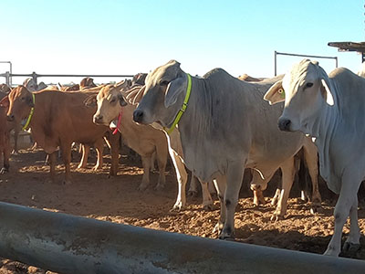 Some of the pregnant cows fitted with GPS tracking collars at Rocklands