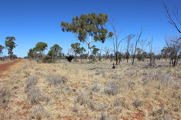 Bob uses fire a lot for land management. This site was once dominated by mulga but planned burning over the last 50 years has created a more open Ghost gum grassland with a diverse range of grasses and forbs which are much more nutritious for cattle.