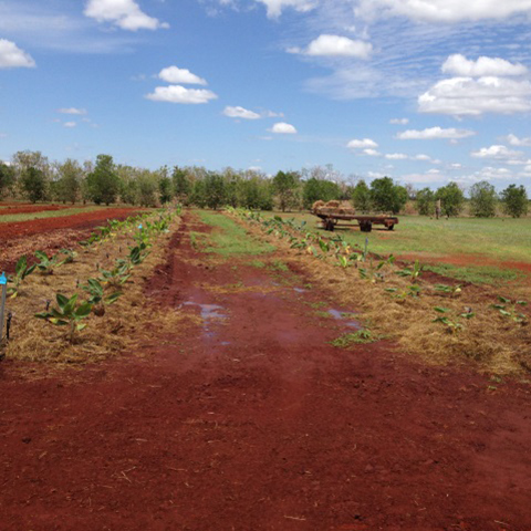 Banana germplasm in Katherine