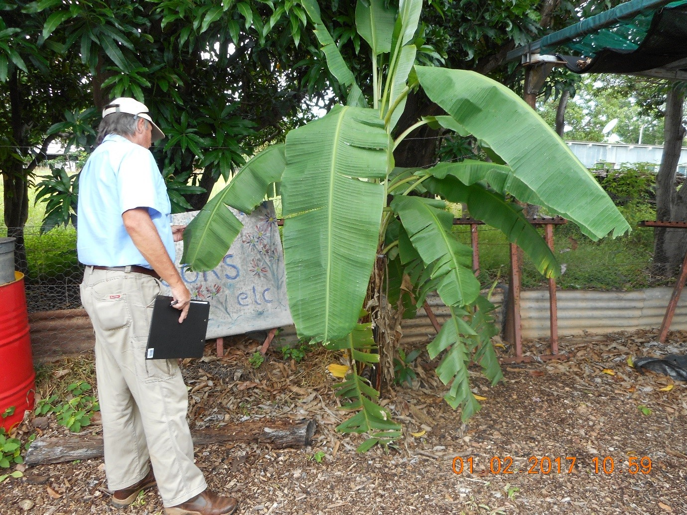 NT biosecurity officer inspecting a banana plant
