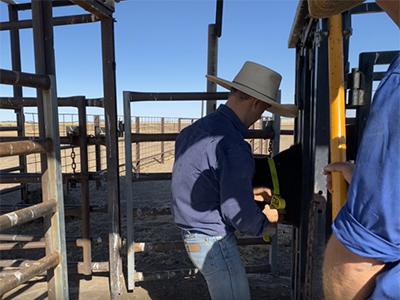 Adding a GPS collar to calf
