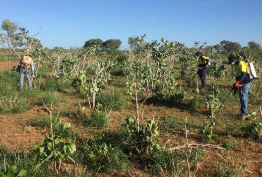 Rubber bush at Epenarra Station