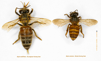 The standard European honey bee (left) compared with the Asian honey
