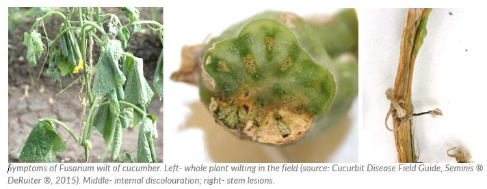 Symptoms of Fusarium wilt of cucumber. Left- whole plant wilting in the field (source: Cucurbit Disease Field Guide, Seminis ® DeRuiter ®, 2015). Middle- internal discolouration; right- stem lesions.