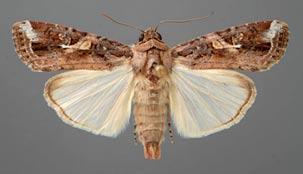 Male fall armyworm adult ©Lyle J. Buss/University of Florida/Bugwood.org  CC BY 3.0 US