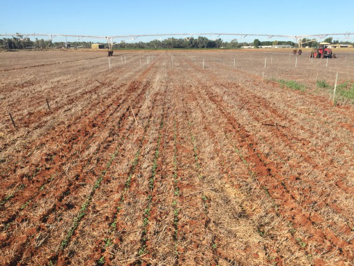 Emerging quinoa plants sown zero till into sabi grass pasture