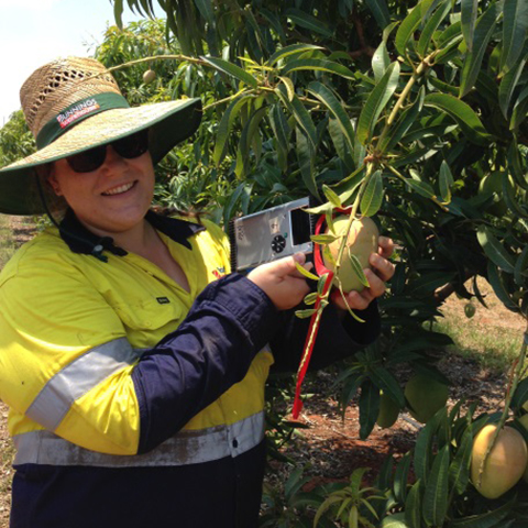 Tip pruning trial, using NIR gun for dry matter in Katherine