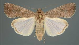 Female fall armyworm adult ©Lyle J. Buss/University of Florida/Bugwood.org  CC BY 3.0 US