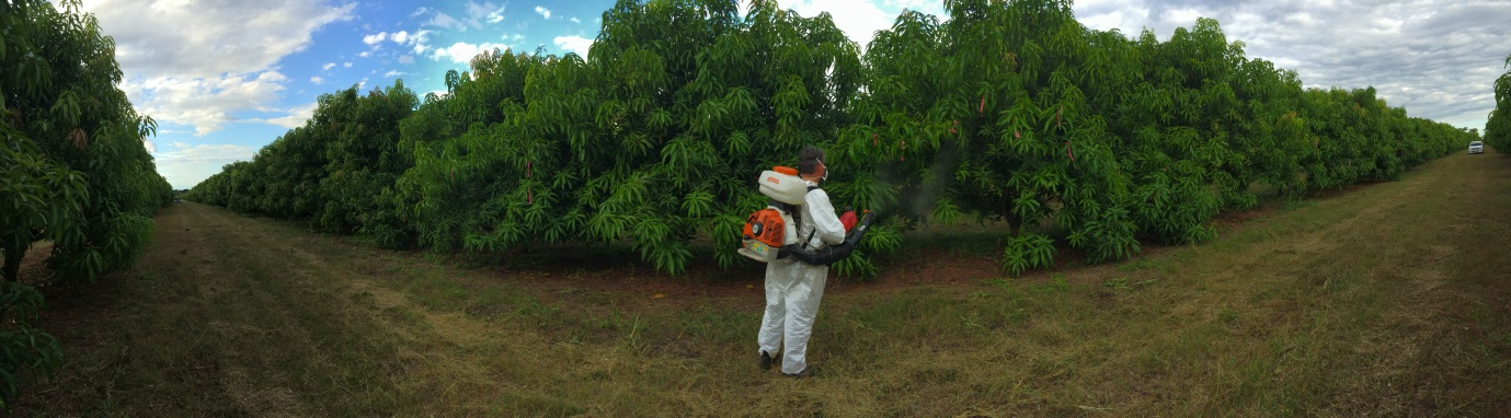 Panoramic view of Senior Research Leader Cameron McConchie applying a growth promoter spray to mangoes at Berry Springs