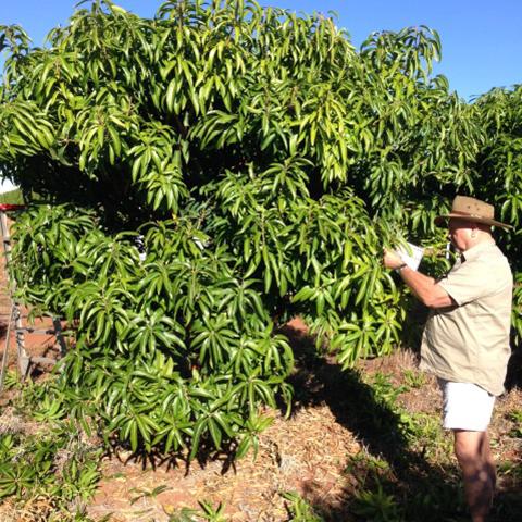 Tip pruning trial in Katherine