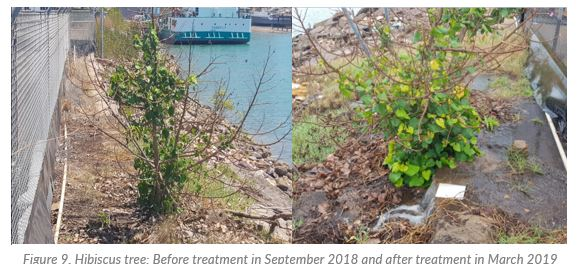 Hibiscus tree before and after treatment, showing remarkable health in the after photo.