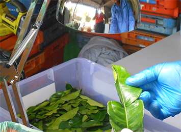 Northern Territory's kaffir lime leaves return to interstate markets and restaurants