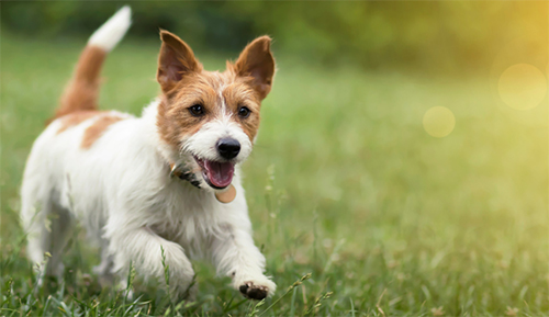 Protect your dog from ehrlichiosis