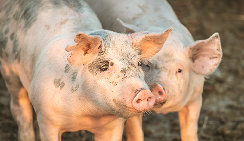 Protect our pigs from African swine fever