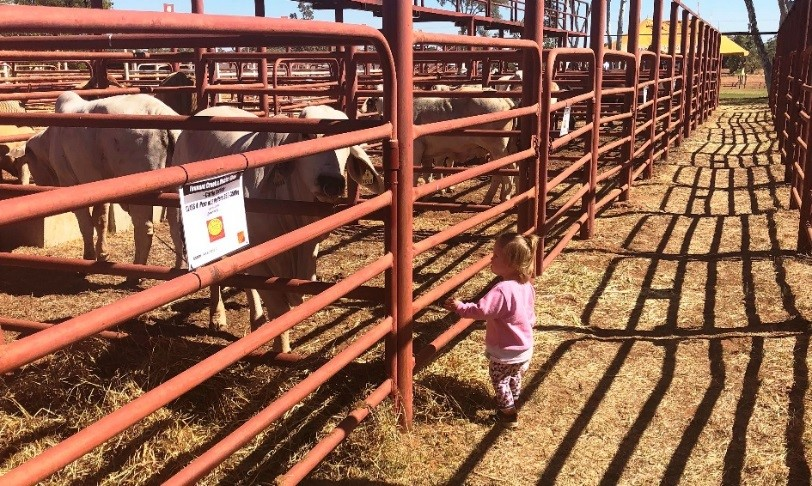Figure 1. Caitlyn Collier inspecting the heifers on show day