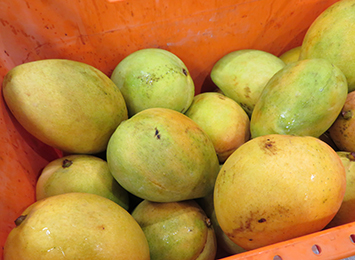 Northern Territory mangoes negotiated into South Australian markets