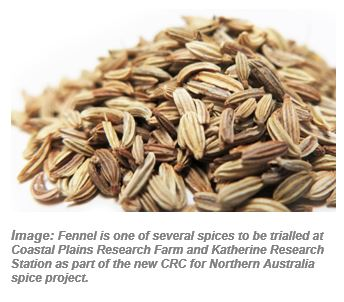 Fennel is one of several spices to be trialled at Coastal Plains Research Farm and Katherine Research Station as part of the new CRC for Northern Australia spice project.